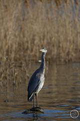 Héron cendré - Ardea cinerea - Grey Heron : IMG_1033_©_Michel_NOEL_2021_au_Lac_de_Creteil