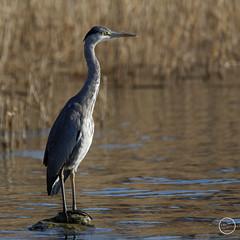 Héron cendré - Ardea cinerea - Grey Heron : IMG_1028_©_Michel_NOEL_2021_au_Lac_de_Creteil