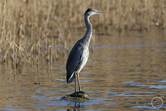 Héron cendré - Ardea cinerea - Grey Heron : IMG_1022_©_Michel_NOEL_2021_au_Lac_de_Creteil