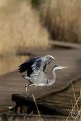 Héron cendré - Ardea cinerea - Grey Heron : IMG_0979_©_Michel_NOEL_2021_au_Lac_de_Creteil