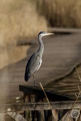 Héron cendré - Ardea cinerea - Grey Heron : IMG_0978_©_Michel_NOEL_2021_au_Lac_de_Creteil