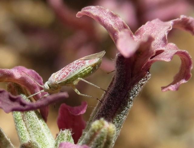 Stenoparia putoni