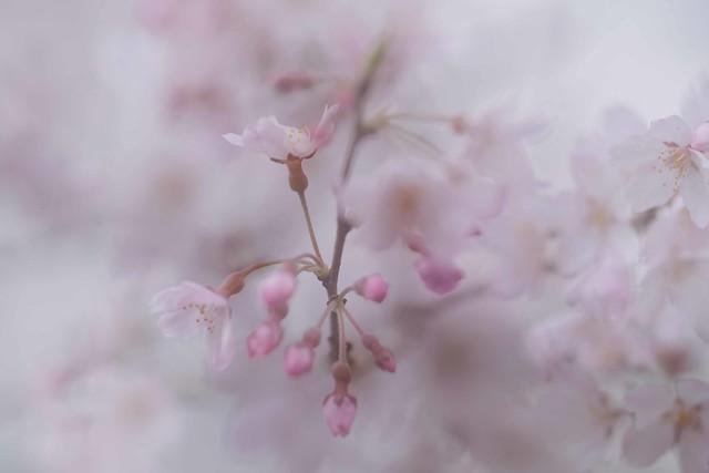 桜 / Sakura