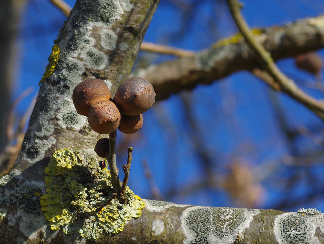 Gall Wasps and lichens