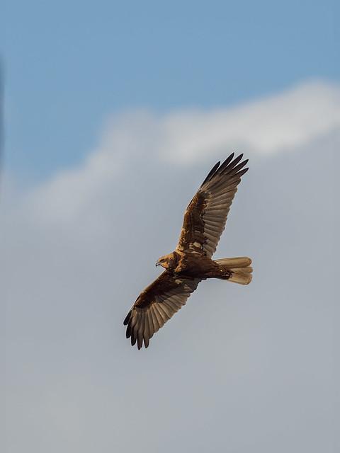 Rohrweihe - Marsh Harrier