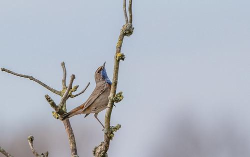 Bluethroat - Luscinia svecica cyanecula - Witsterblauwborst