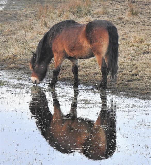 Exmoor Pony - Drinks, On Reflections