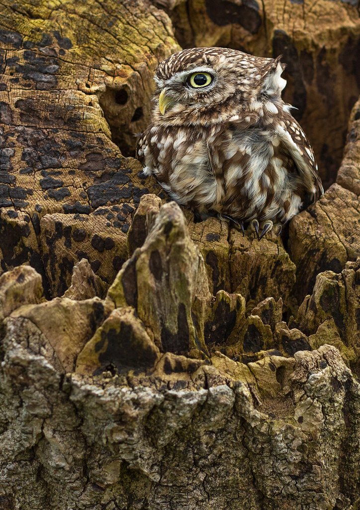 Little-Owl-a2-LP-crop