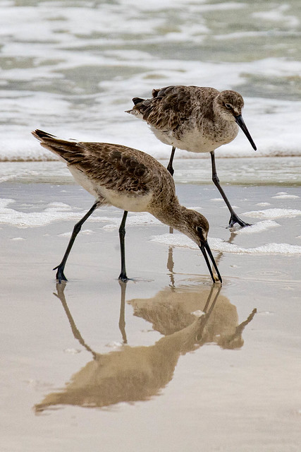 More Willets