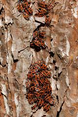 Gendarme (insecte) - Pyrrhocoris apterus : IMG_1129_©_Michel_NOEL_2021_au_Lac_de_Creteil