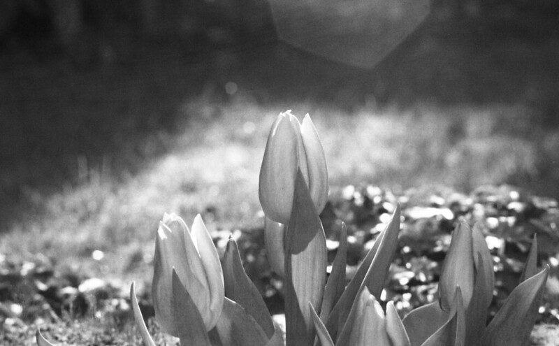Sigma Mark 1 Tulips