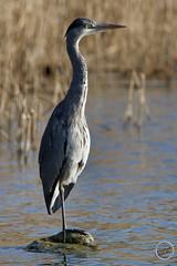 Héron cendré - Ardea cinerea - Grey Heron : IMG_1012_©_Michel_NOEL_2021_au_Lac_de_Creteil