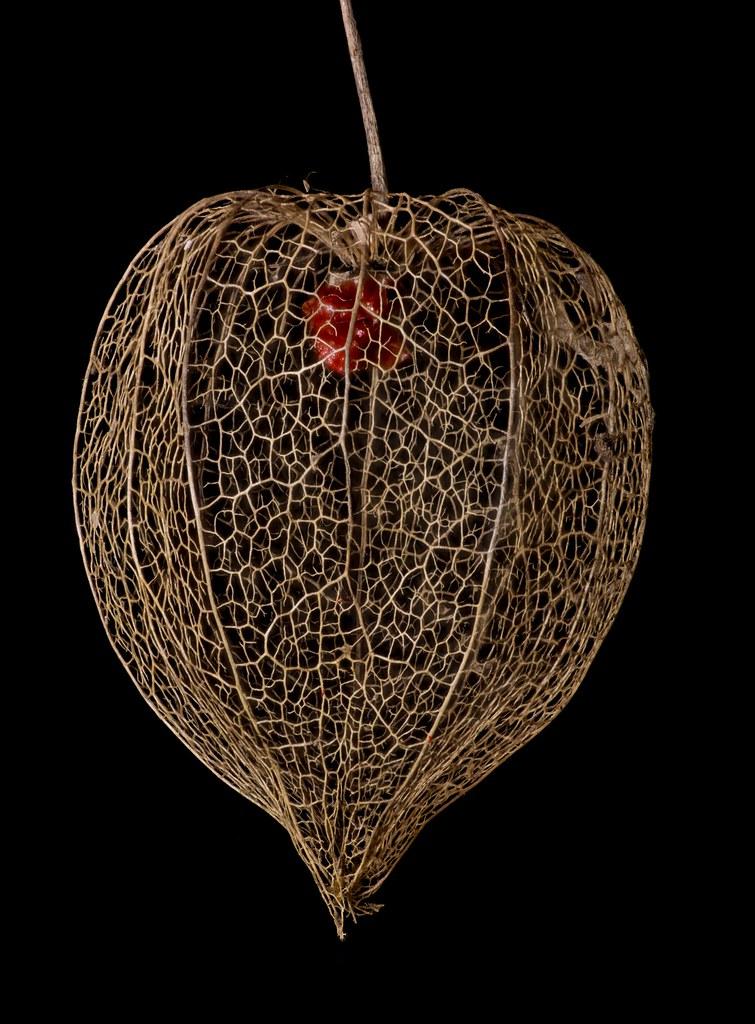 Chinese Lantern Shell