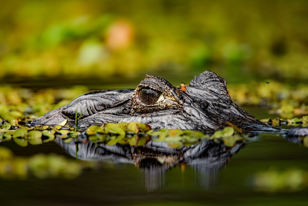 JACARÉ-DO-PANTANAL (Caiman crocodilus yacare)