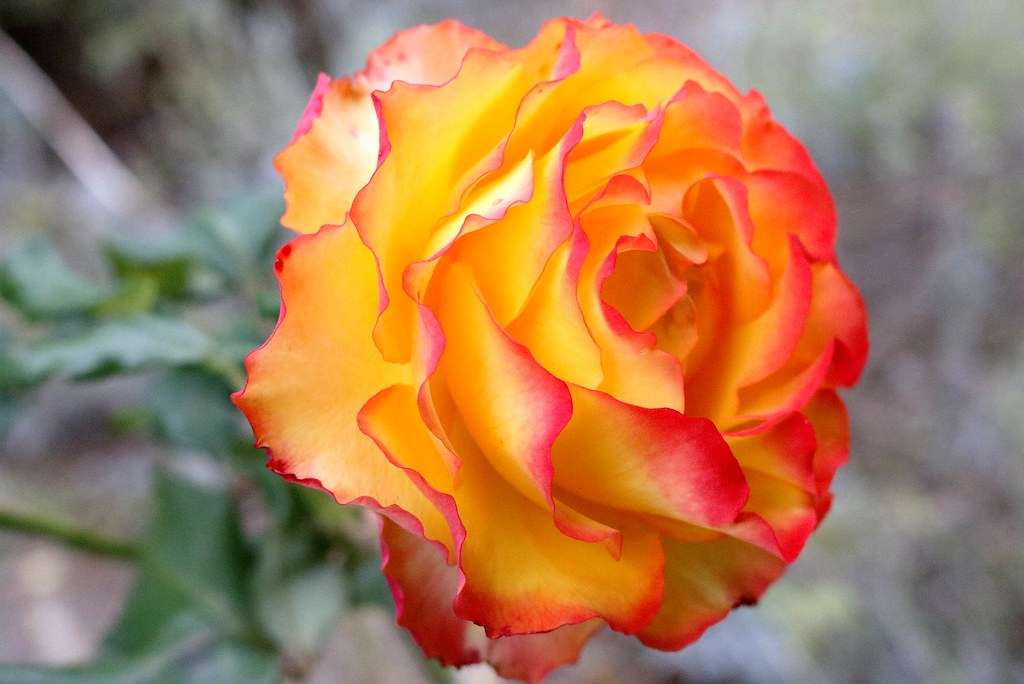 This rose signifies Friendship or......