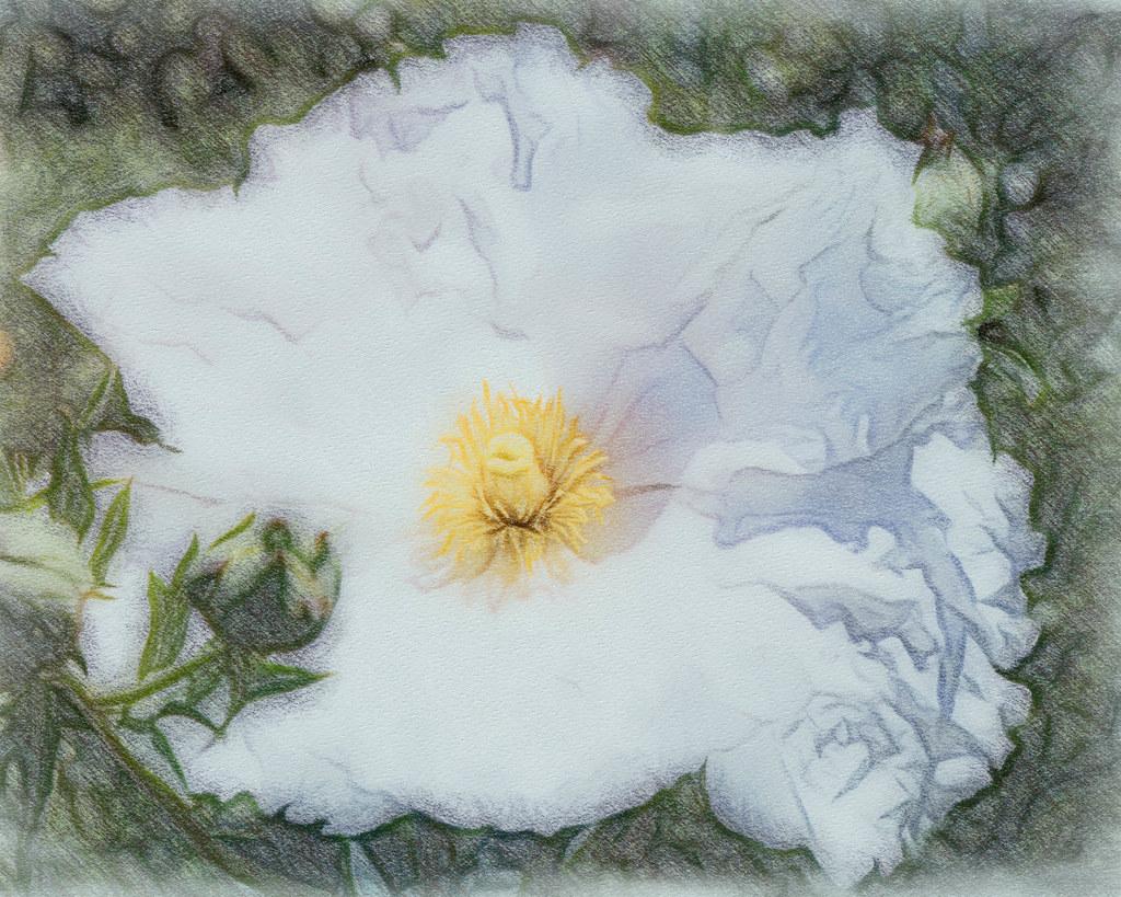 Matilija Poppy by Steven Lewis