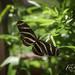 Florida Zebra Butterfly