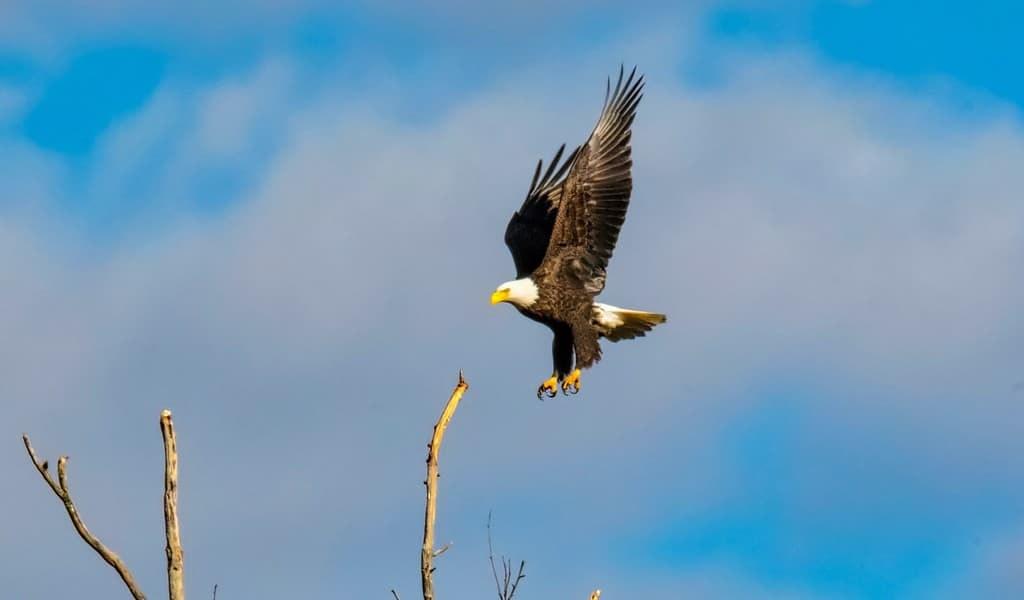 Le bromure expliquerait la mort des aigles aux USA