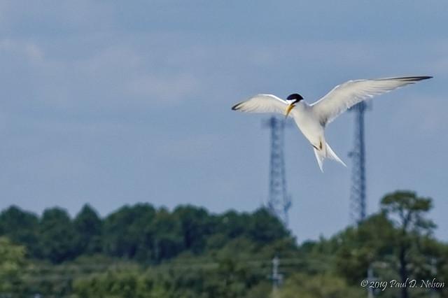 _DSC3778_Least Tern; Navarre Beach, Florida