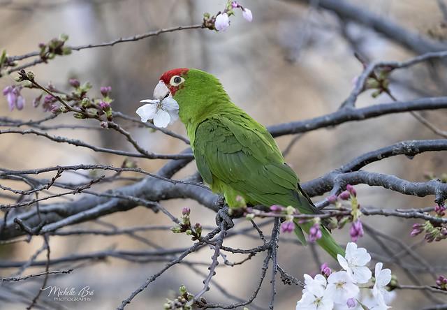 _DSC8582  _ Red-Masked Parakeet