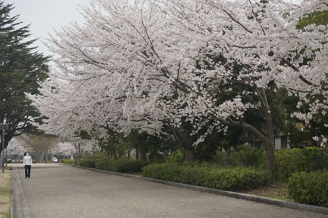 金沢満開の桜と黄砂の空