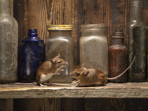 Wild Wood mice in my shed, whilst watching the mice on CCTV the little mouse on the left wants to fight with all the other mice [ plenty of bottle}
