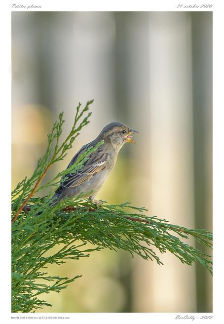 Moineau | Sparrow