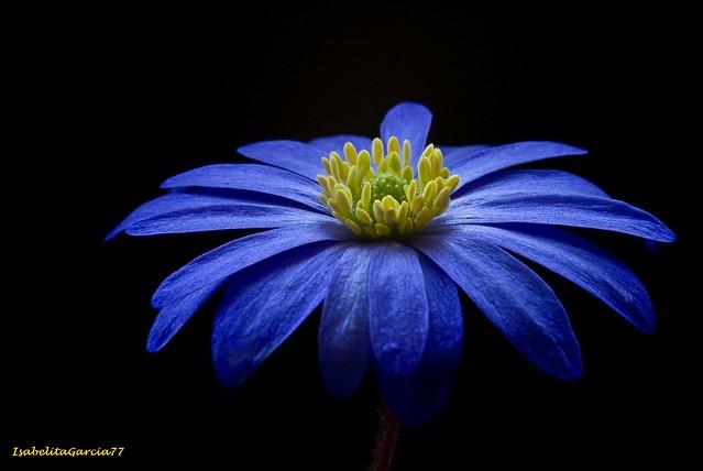 Margarita azul - Margherita blu - Marguerite bleue - Blue daisy