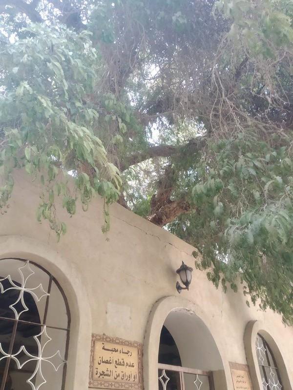 дерево сирина 2
