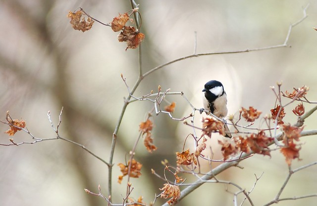 Japanese tit on the branch