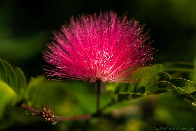 Pink Calliandra