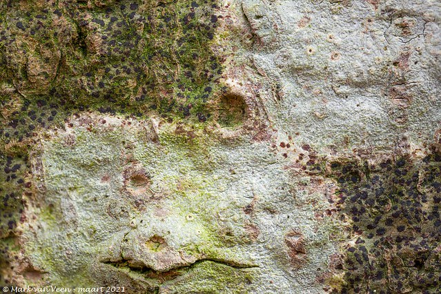 Beukenwrat, Thelotrema lepadinum
