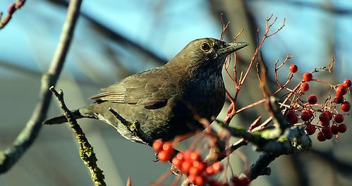 blackbirds wildbirds passionforbirds photographyvision rainbowofnature supersix specialistnaturewildlifephotographers specialistschoicenaturewildlife treasuresofourplanet thegalaxy borntofly