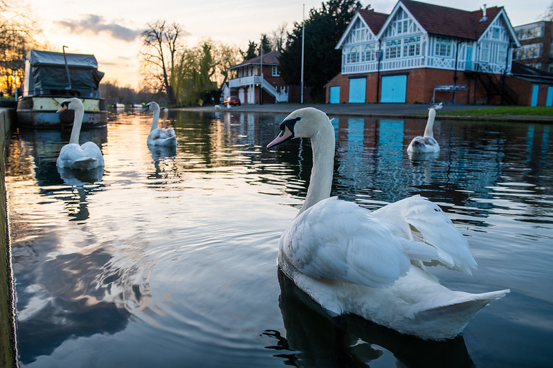 Swans at rover Cam