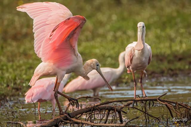 Espátulas rosadas...