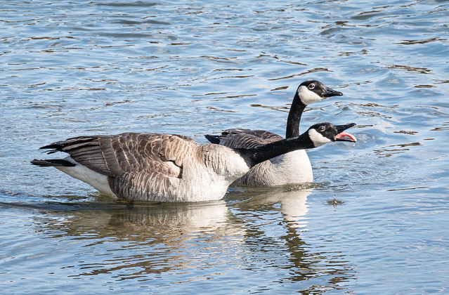 squabbling geese