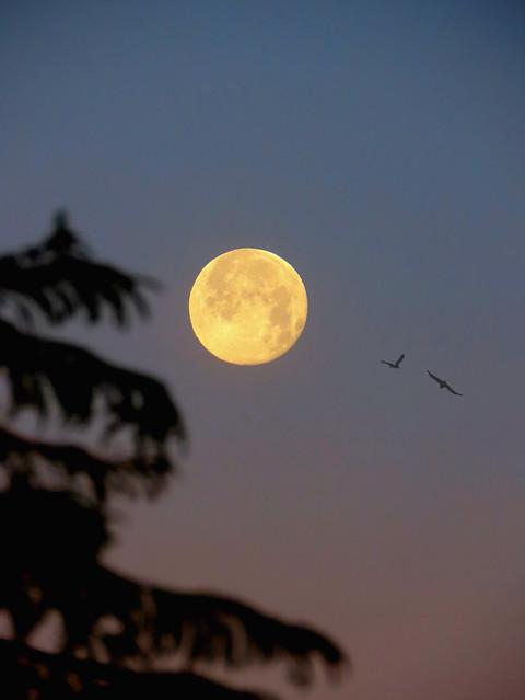 Moon, Jacaranda Tree, And Birds
