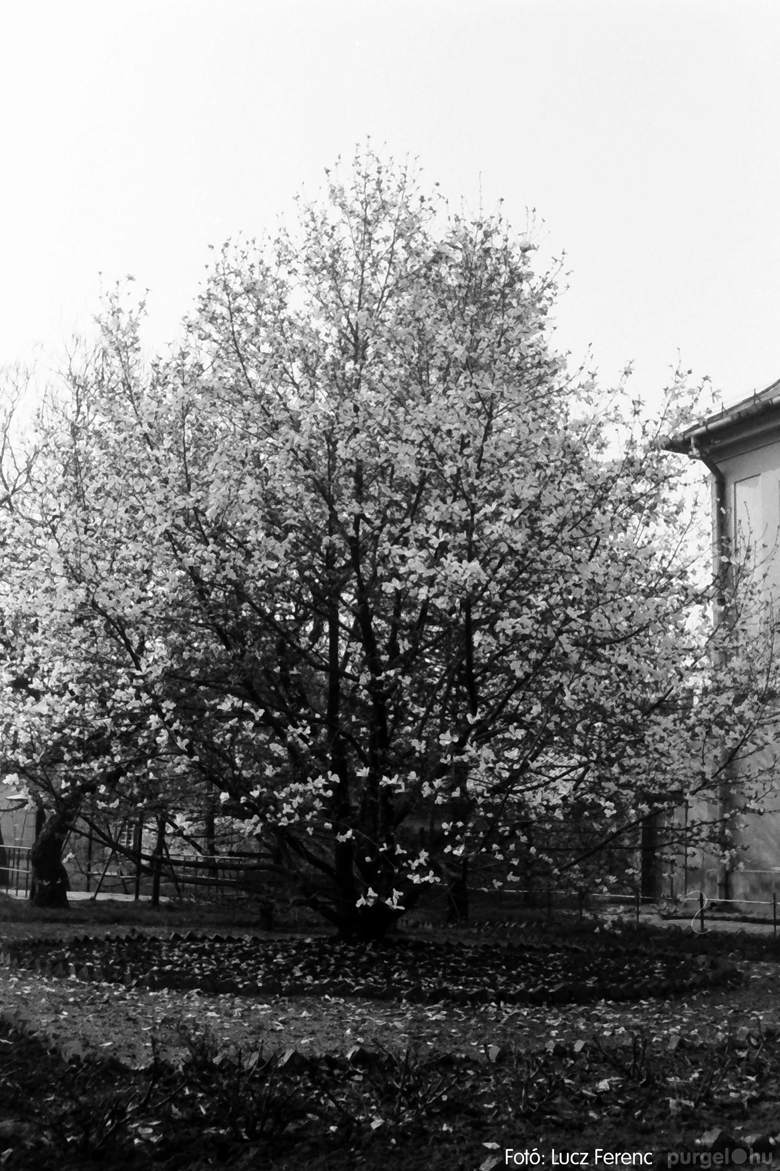 077. 1977. Virágba borult a liliomfa 001. - Fotó: Lucz Ferenc.jpg