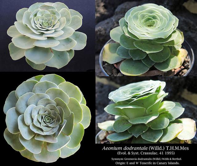 Aeonium dodrantale [Greenovia dodrantalis] (collage)