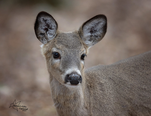 Whitetail youngster, not quite a yearling yet.