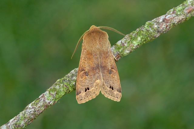 73.250 Twin-spotted Quaker (Anorthoa munda), Burntisland, Fife