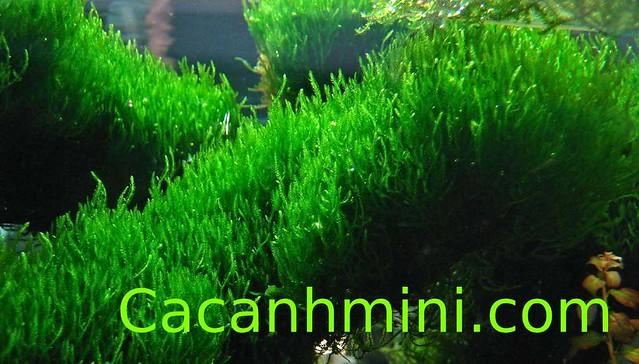 Những loại rêu thủy sinh được yêu thích nhất hiện nay