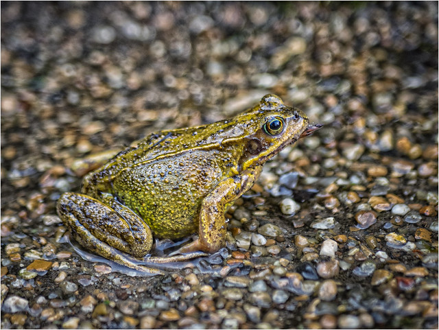Resting Frog. (Explore)