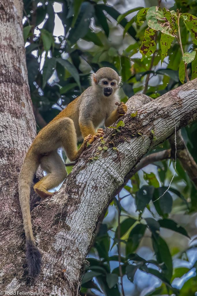 CA3I0565-Common Squirrel Monkey