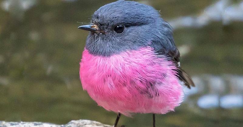 牠是世界上最可愛的鳥,名叫「粉紅羅賓」,紅色圓肚超萌又夢幻!