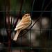 248A0387 leusistic sparrow
