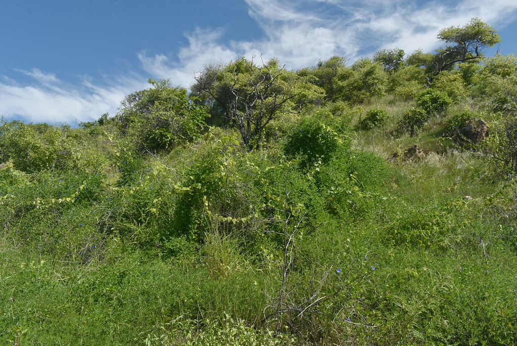 Clitoria ternatea, Passiflora foetida and Ziziphus mauritiana, Cape Pallarenda, Townsville, QLD, 16/03/21
