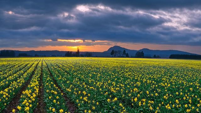 Daffodils Sunset 2971 A (Explored)