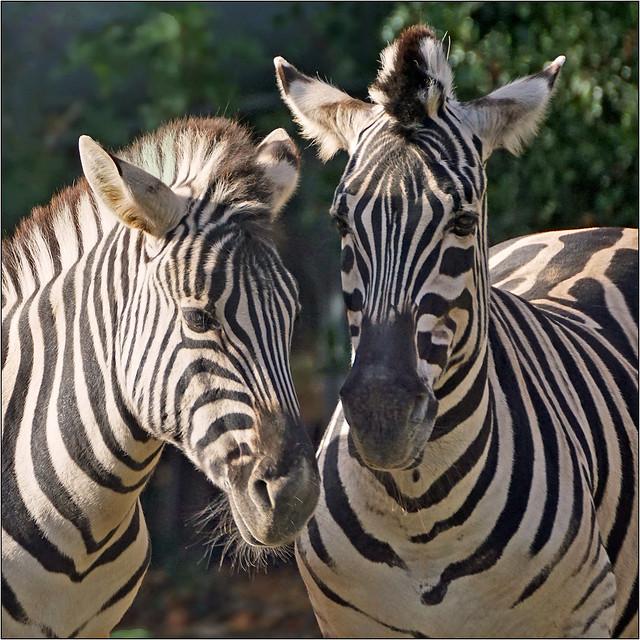 Striped buddies