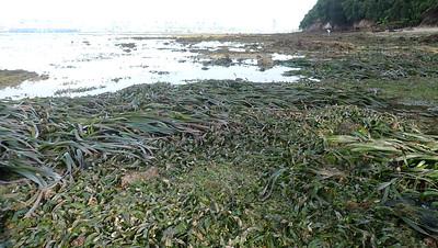 Seagrass meadows at Sentosa Tg Rimau, Apr 2021